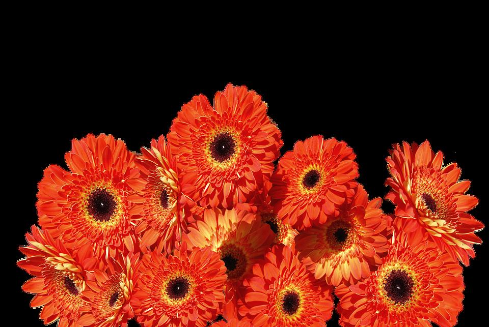 Gerbera Flores Colorido Foto Gratis En Pixabay
