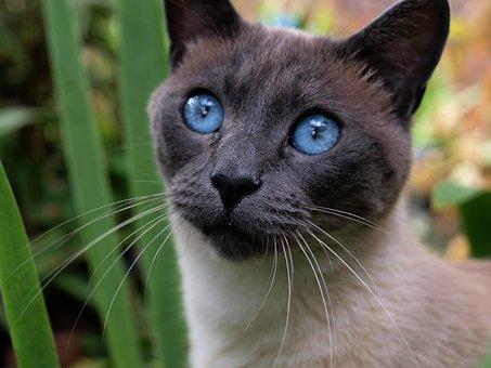 Cat, Siamese, Pet, Animal, Blue Eyes