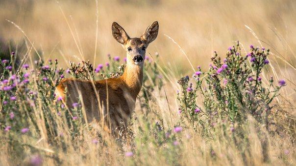 Roe Deer, Capreolus Capreolus, Doe