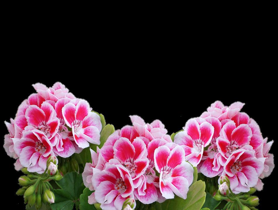 Geranium Summer Garden Balcony Plant Red Flowers