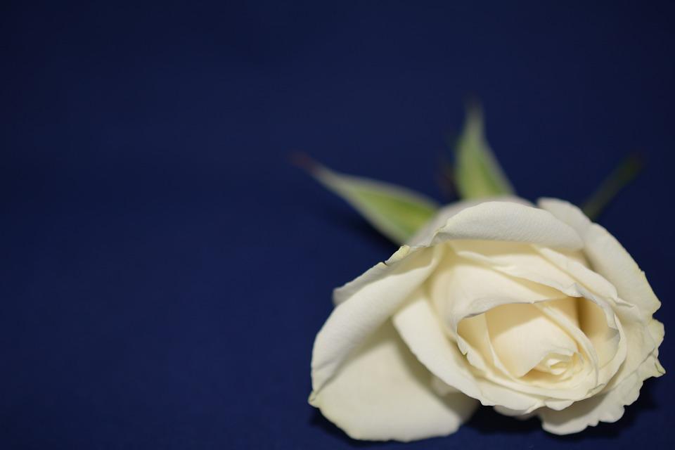 Ros Blume Hintergrund Weiße · Kostenloses Foto auf Pixabay