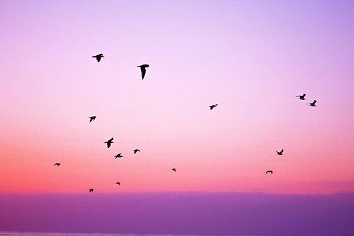 ピンク, 紫, 空, 鳥, 飛行, 動物, 日没, ピンクの空, ピンクの動物