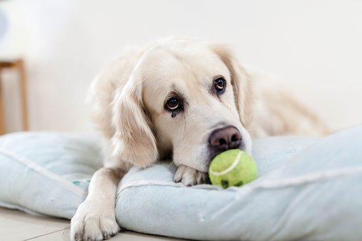 Dog, Golden Retriever, Pet, Animals, Sad