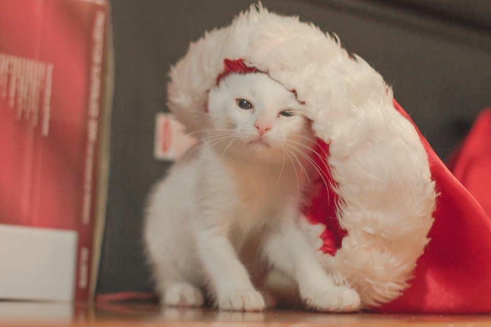 White, Cat, Whiskers, Christmas, Pet