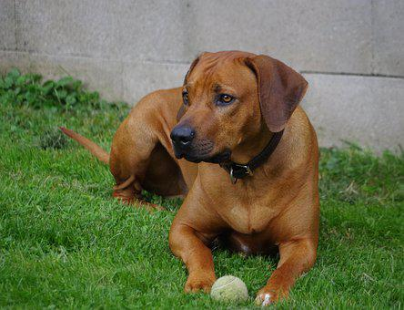 Rhodesian Ridgeback Puppies For Sale in Montana