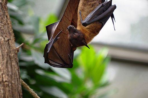 Flying Dog, Zoo, Bat, Vampire, Wing