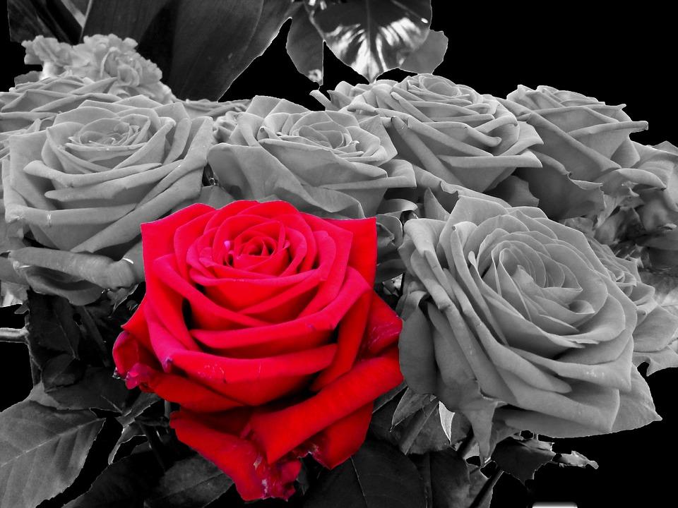 Rosas Rojo Blanco Y Negro Rosa Foto Gratis En Pixabay
