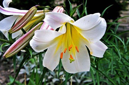 白, 百合, 花, 植物区系, 开花, 花园, 礼来公司, 植物, 优雅