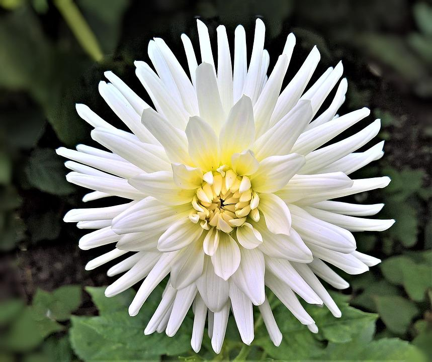 Chrysanthemum images pixabay download free pictures plant dahlia chrysanthemum flower mightylinksfo