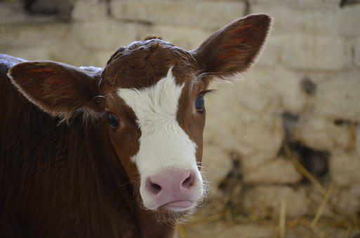 Eyes, Eyelashes, Big Ears, Calf, Cow