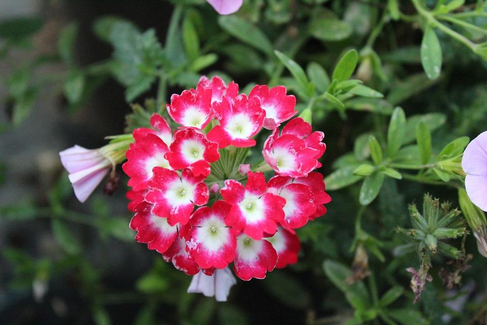 Rojo Y Blanco Flores Rojas Foto Gratis En Pixabay