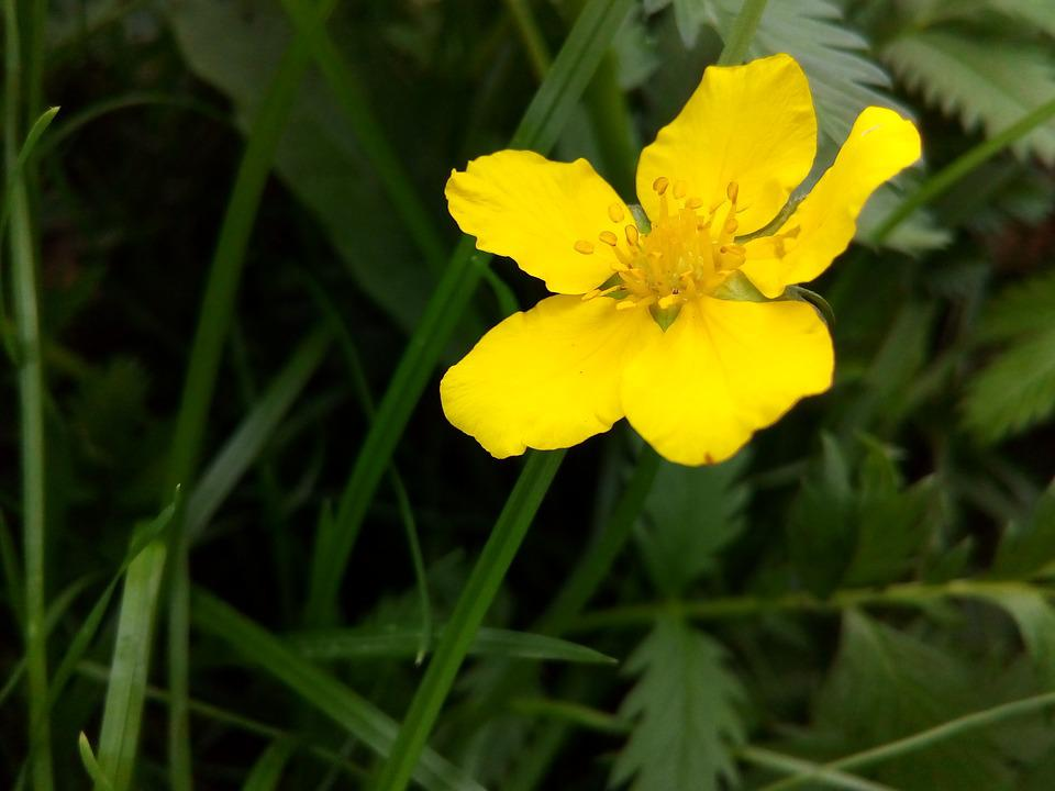 Flower yellow wild herbs free photo on pixabay flower yellow wild herbs closeup plant flowers mightylinksfo