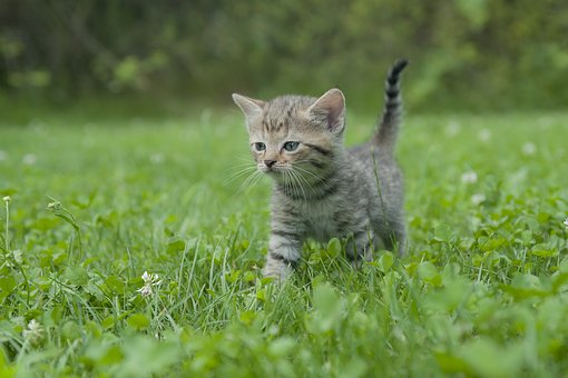 Kitten, Cat, Tiger Cat, Young Cat