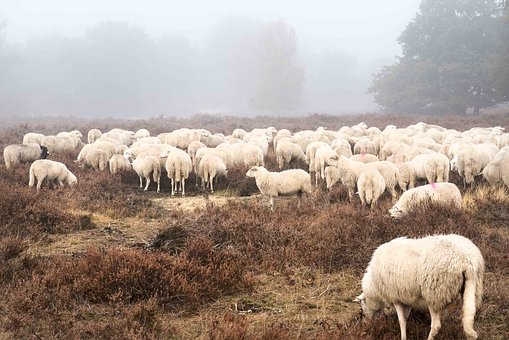 Sheep, Field, Forest, Countryside, Rural