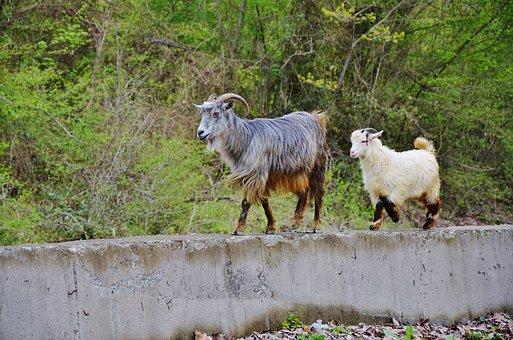Goat, Goats, Animal, Farm, Nature