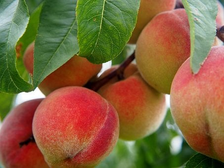 Peach, Fruit, Fruits, Peach Tree, Bio