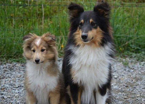 Dogs, Shetland Sheepdog, Couple, Dog