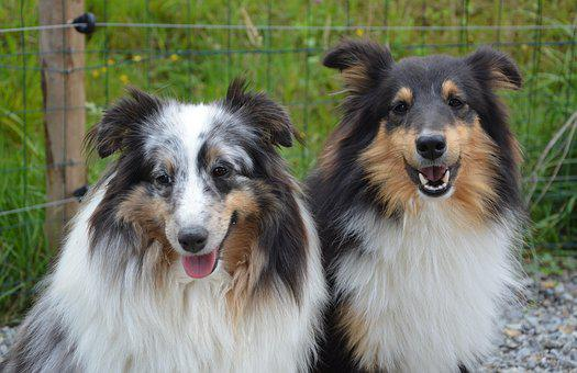 Dogs, Shepherd Shetland, Couple