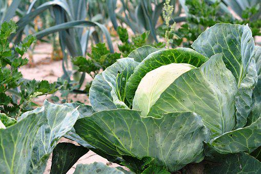 Cabbage, Vegetables, A Vegetable, Food
