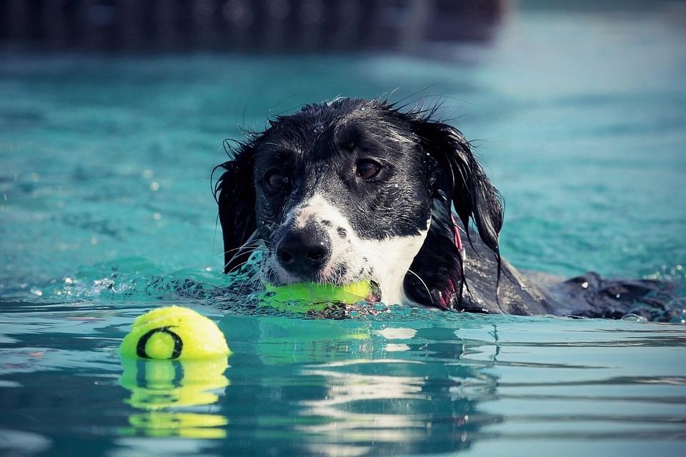 Köpek, Yüzmek, Su, Islak Köpek, Yaz, Eğlence, Yüzme