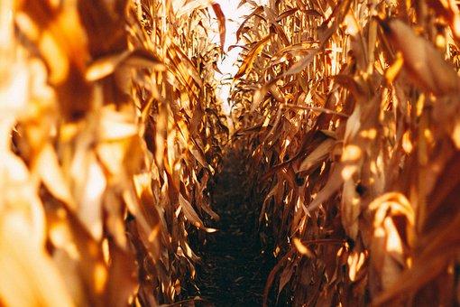 Corn Field, Nature, Field, Corn