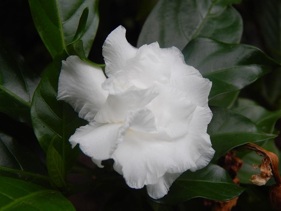 Gardenia flower white free photo on pixabay gardenia flower white white petals mightylinksfo
