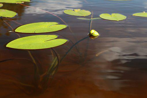 Yellow Water-Lily, Ulpukan Bud, Lake