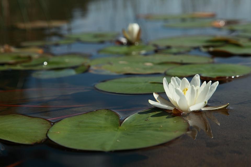 Waterlelie Bloem, Water Lily Blad, Meer, Helder Water