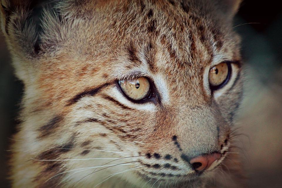 lynx baby young animal  u00b7 free photo on pixabay