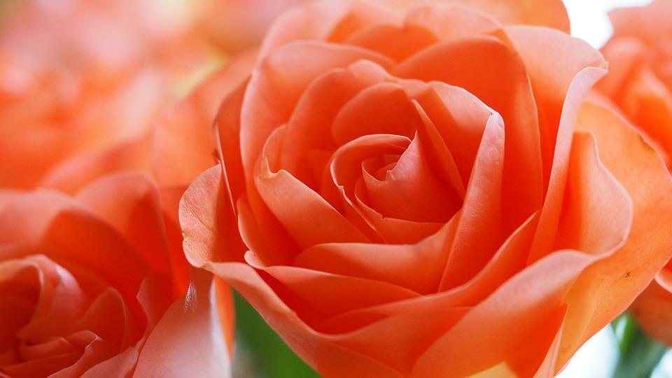 rose flower orange free photo on pixabay