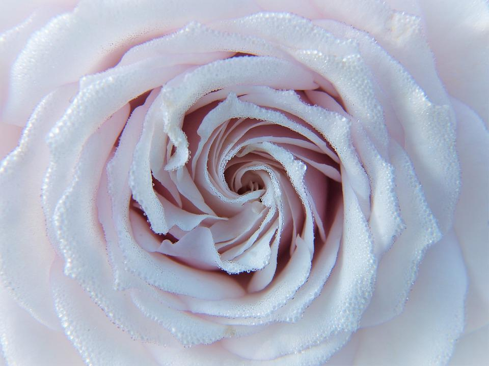 Rose, Weiß, Rosa, Blüte, Hautnah, Tau, Tropfen Wasser