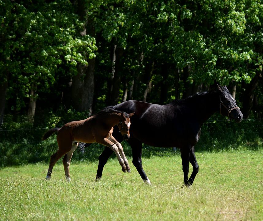 Horse, Foal, Pasture, Young Animal, Meadow, Mare, Grass