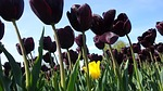 tulips, tulip, bulb