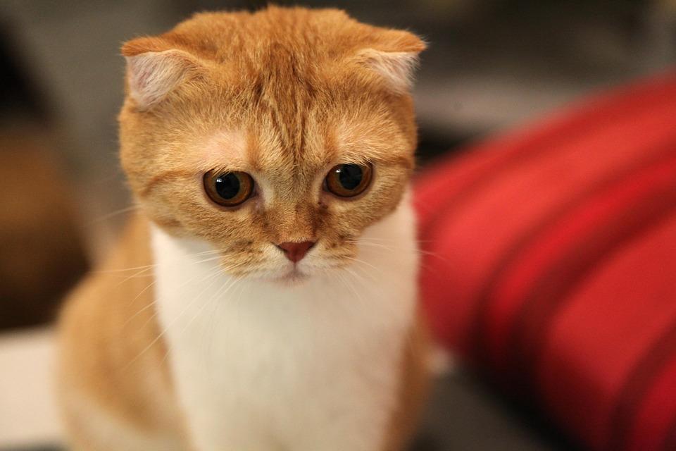 Топ кошек -  Шотландская вислоухая кошка