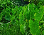 louts, plants, green