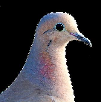 Dove, Pigeon De Ville, À Collier, Bird
