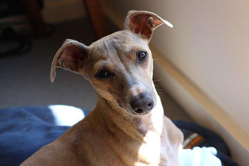 Miniature Italian Greyhound Puppies For Sale in South Carolina