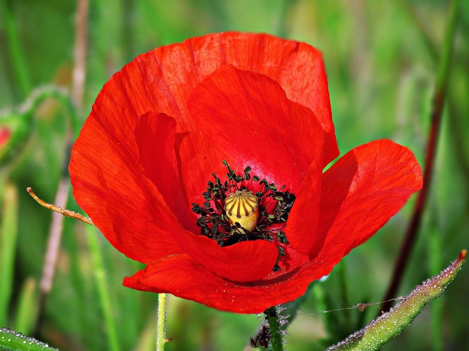 Poppy poppies flower free photo on pixabay poppy poppies flower daisy flowers bloom garden mightylinksfo