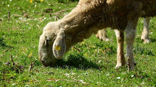 Sheep, Graze, Grazing Sheep
