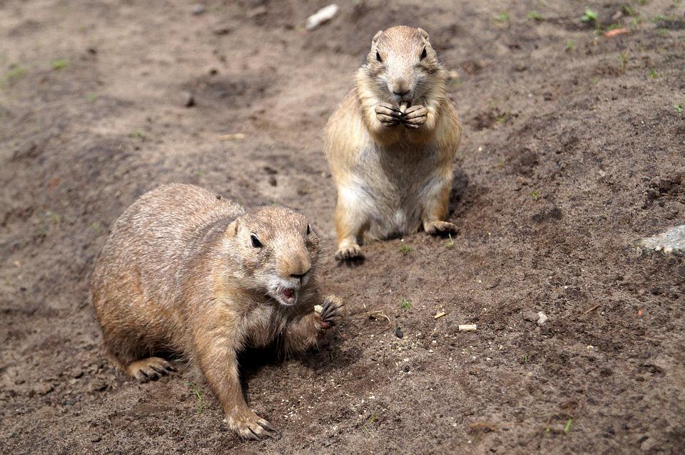 草原土拨鼠, 老鼠, 动物, 动物园, 吃, 嘴里, 张开嘴, 食品
