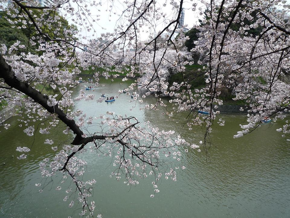 Cerezo, Sakura, Flores, Japón, Color De Rosa, K