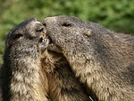 marmot, rodent, alpine