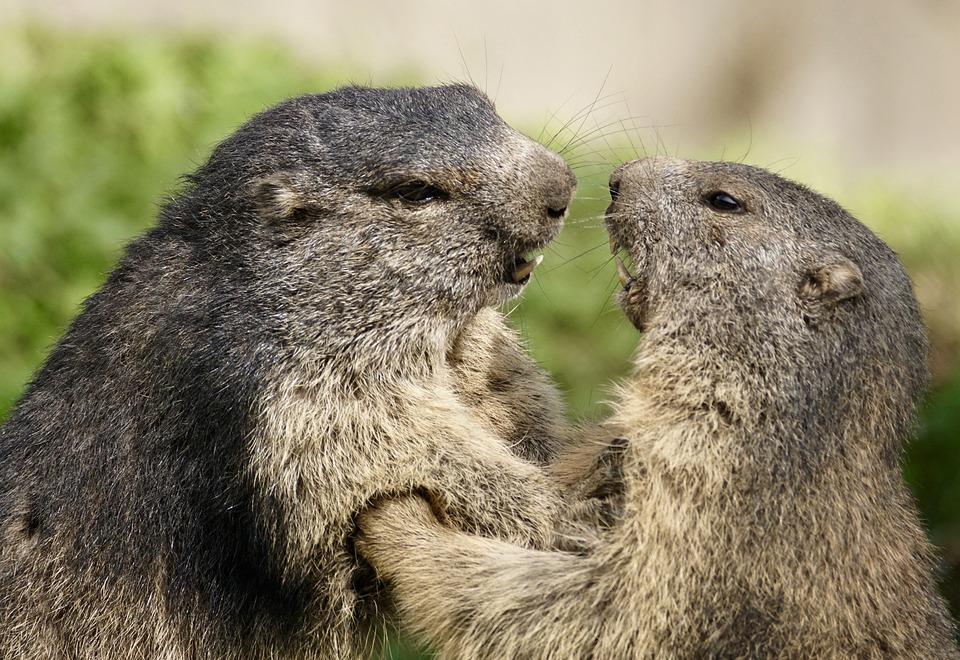 Marmot, Rongeurs, Alpine, Marmotte, Réserve Naturelle