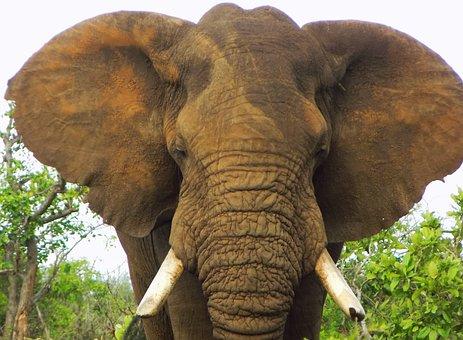Elefante Africano, Elefante