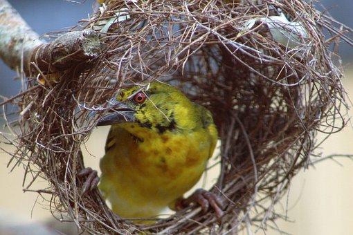 Pájaro Tejedor, Ave, Nido, Animales