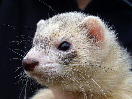 Ferret, Animal, Pet