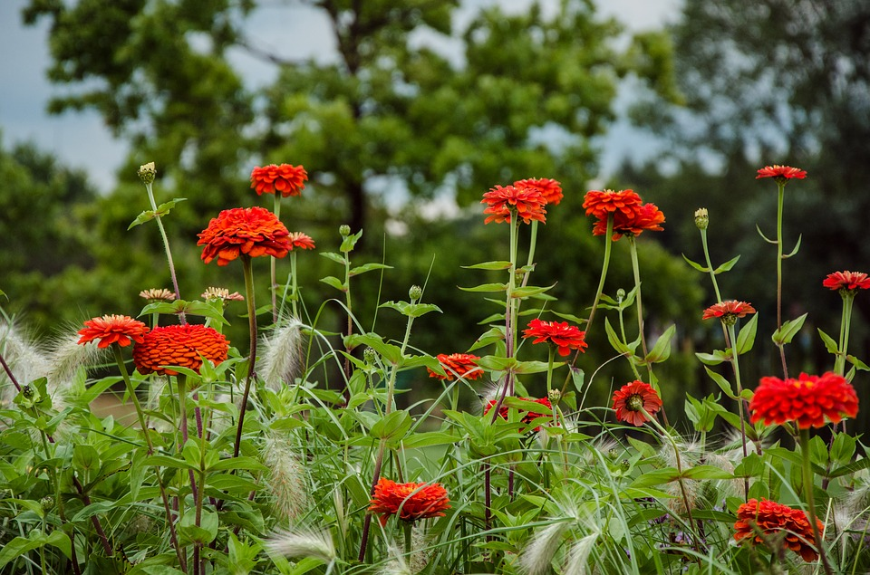 Dahlia Flowers Dahlia Garden Late Summer Iga
