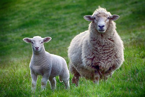 Sheep, Lamb, Farm, Animal, Mammal, Cute