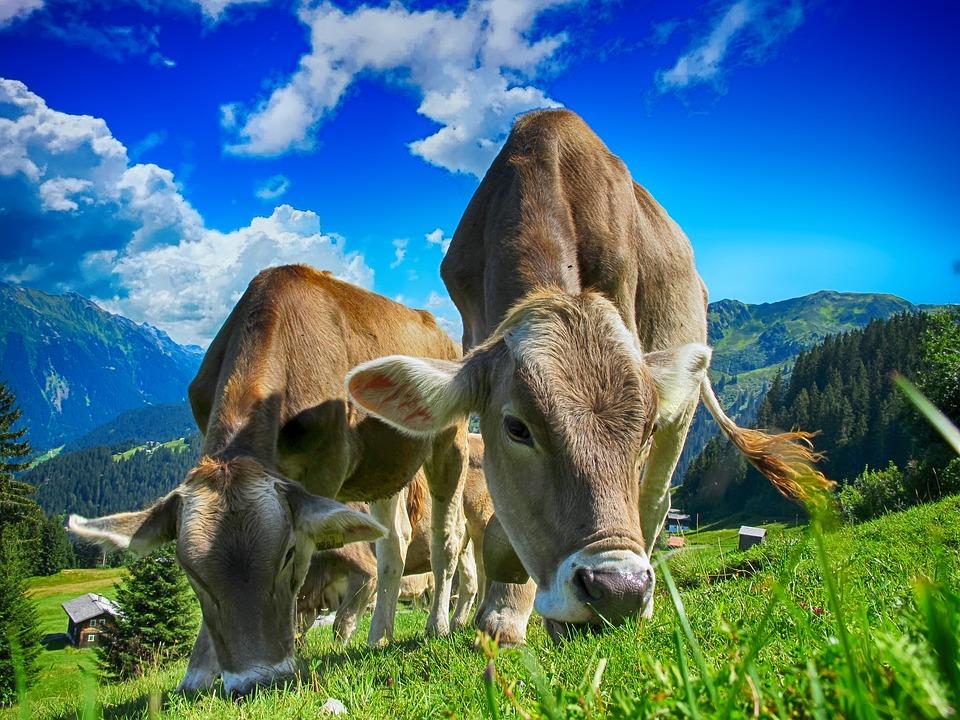 牛, ファーム, 農村, 農業, 家畜, 家畜化された, 乳製品, 牧草地, 田舎, 農青, 青牛
