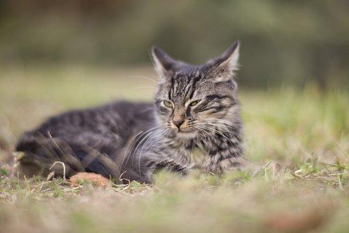 Cat, Animal, Grass, Cat Eye